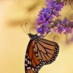 Monarch butterfly, Danaus plexippus — Stock Photo #11440803