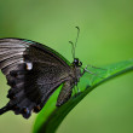 Постер, плакат: Emerald Swallowtail butterfly Papilio palinurus