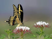 Giant Swallowtail butterfly on wildflowers — Stock Photo