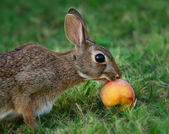 Cottontail rabbit eating fruit — Stock Photo