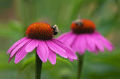 Coneflowers and bees — Stock Photo