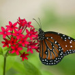 Queen Butterfly (Danaus gilippus) — Stock Photo