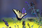 Tiger Swallowtail butterfly (Papilio glaucus) — Stockfoto
