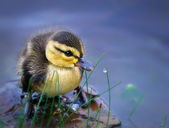Newborn duckling — Stock Photo
