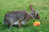 Cottontail bunny rabbit eating peach — Stock Photo