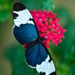 Stock Photo: Cydno Longwing (Heliconius cydno) butterfly