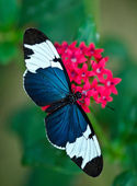 Cydno Longwing (Heliconius cydno) butterfly — Stock Photo