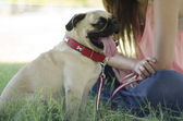 Cute pug dog with its owner at the park — Stock Photo