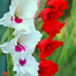 Gladiolus — Stock Photo #11963468