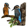 Two kingfishers on a branch - Stock Photo