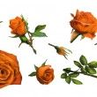 Orange rose — Stock Photo