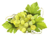 Tuft of white wine on a white background — Stock Photo