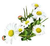 Strauß gänseblümchen auf weißem hintergrund — Stockfoto