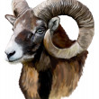 Mouflon head on white background — Stock Photo #11460304