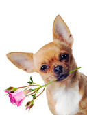 Chihuahua dog with rose isolated on white background — Stock Photo