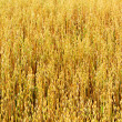 Golden oat field texture, background, selective focus — Stock Photo #11820689