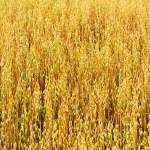 Golden oat field texture, background, selective focus — Stock Photo