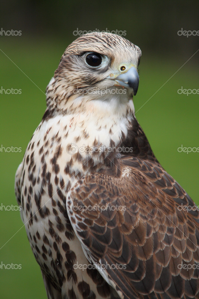 Close up portrait of a Gyrfalcon — Stock Photo #11338966