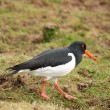 Stock Photo: Oyster Catcher