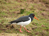 Oyster Catcher — Stock Photo