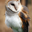 Barn Owl — Stock Photo #11462551