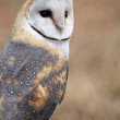 Barn Owl — Stock Photo #11462625
