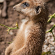 Stock Photo: Meerkat (Suricatsuricatta)