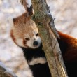 Red Panda — Stock Photo #11467344