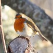 Robin in tree — Stock Photo #11467357