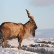 Markhor — Stock Photo #11467573
