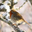 Stock Photo: Robin in tree