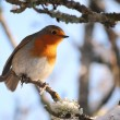 Robin in tree — Stock Photo