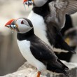 Puffins (Fratercula arctica) — Stock Photo