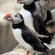 Stock Photo: Puffins (Fratercularctica)