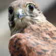 Kestrel — Stock Photo #11469344