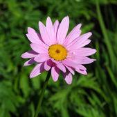 Pink Gerbera Daisy — Stock Photo