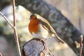 Robin ağacında — Stok fotoğraf