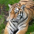 Amur Tiger — Stock Photo #11482124