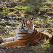 Stock Photo: Rare Amur Tiger