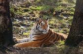 Rare Amur Tiger — Stock Photo