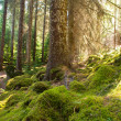 Stock Photo: Scots Pine forest