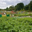 Allotment gardens — Stock Photo