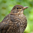 Juvenile Blackbird — Photo