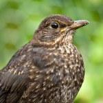 Juvenile Blackbird — Stock Photo