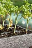 Kale seedlings — Stock Photo