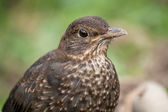 Juvenile Blackbird — Stock Photo