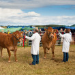 Livestock competition — Stock Photo