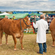 Judging cattle — Stock Photo
