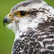 Gyrfalcon — Stock Photo