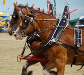 Clydesdales — Stock Photo